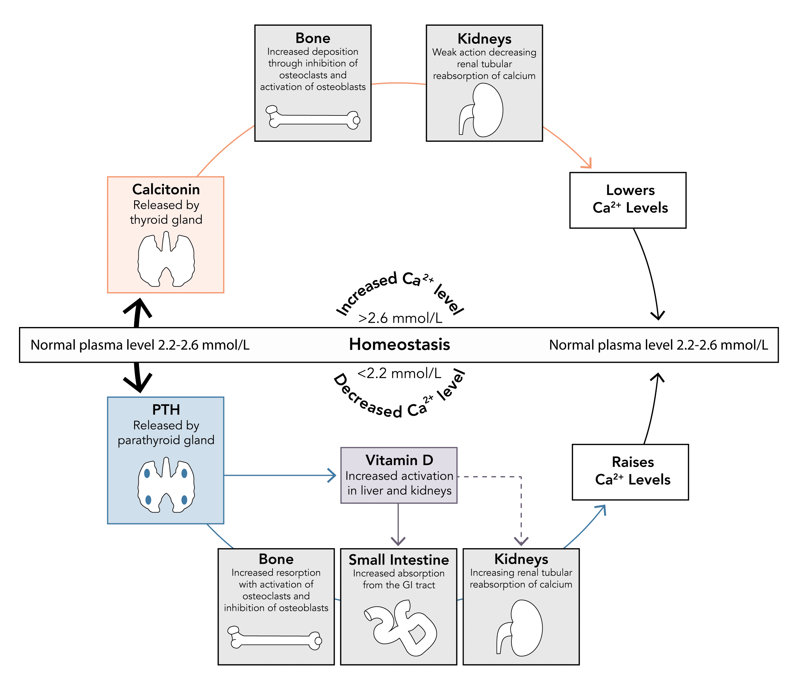 Calcium homeostasis - regulation of normal levels