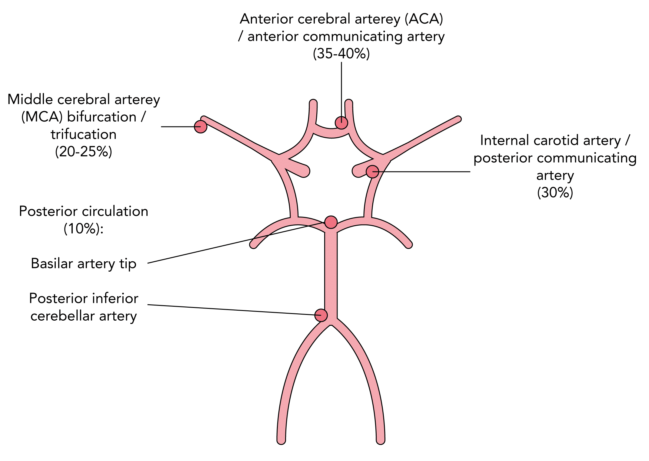 Common sites of saccular (berry) aneurysms in the cerebral circulation