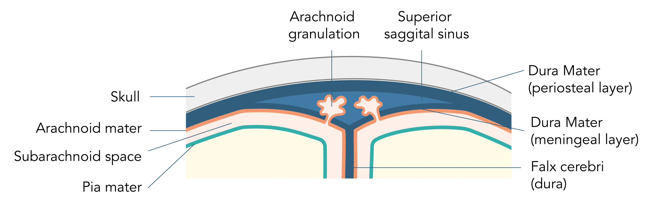 Structure of the arachnoid granulations