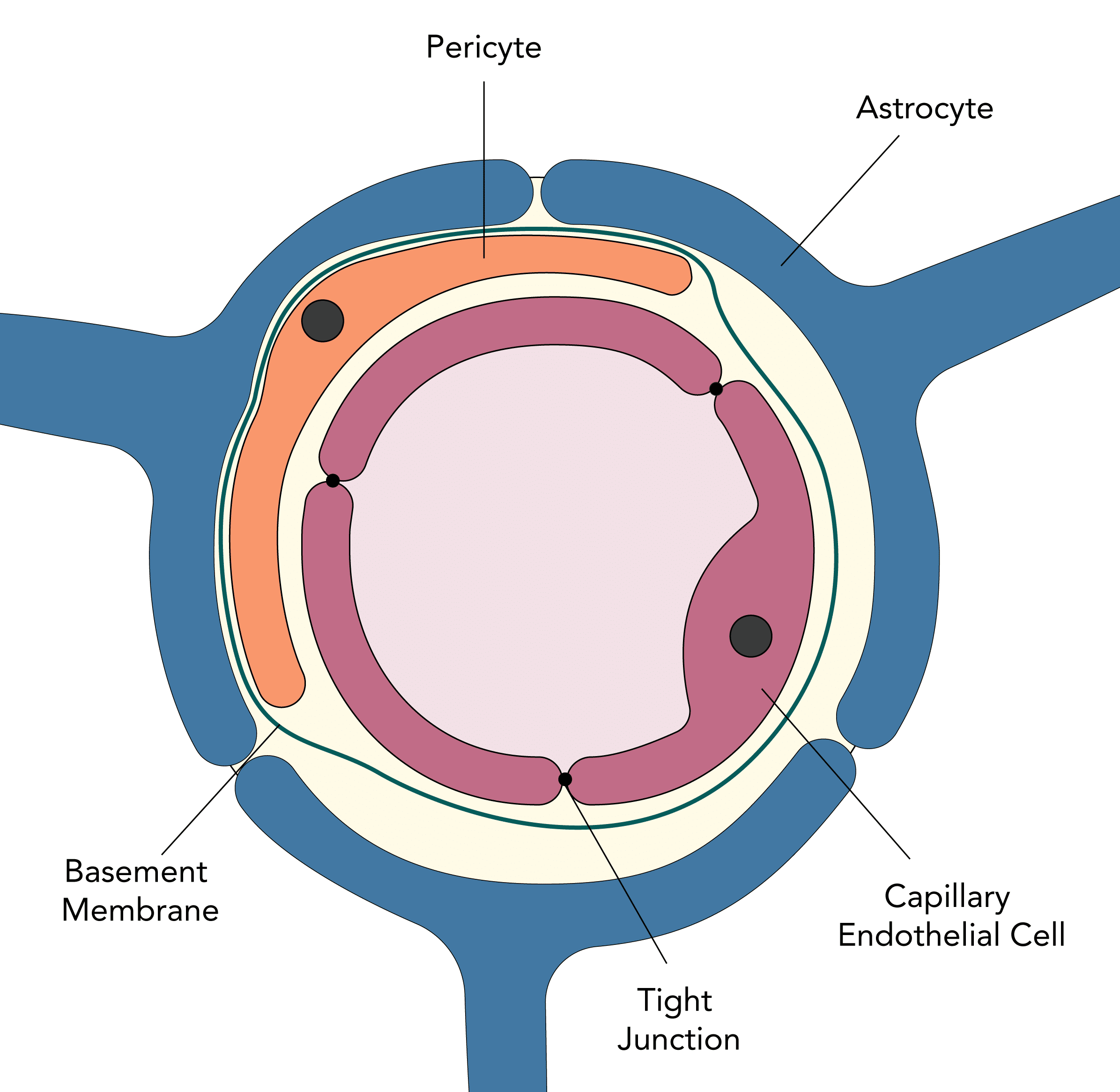 Structure of the blood brain barrier