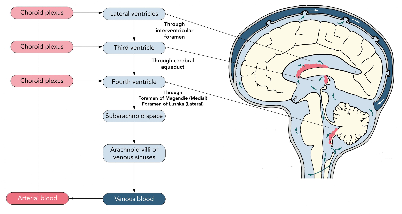 Circulation of CSF between the ventricles and foramina