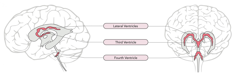 Location of the choroid plexuses