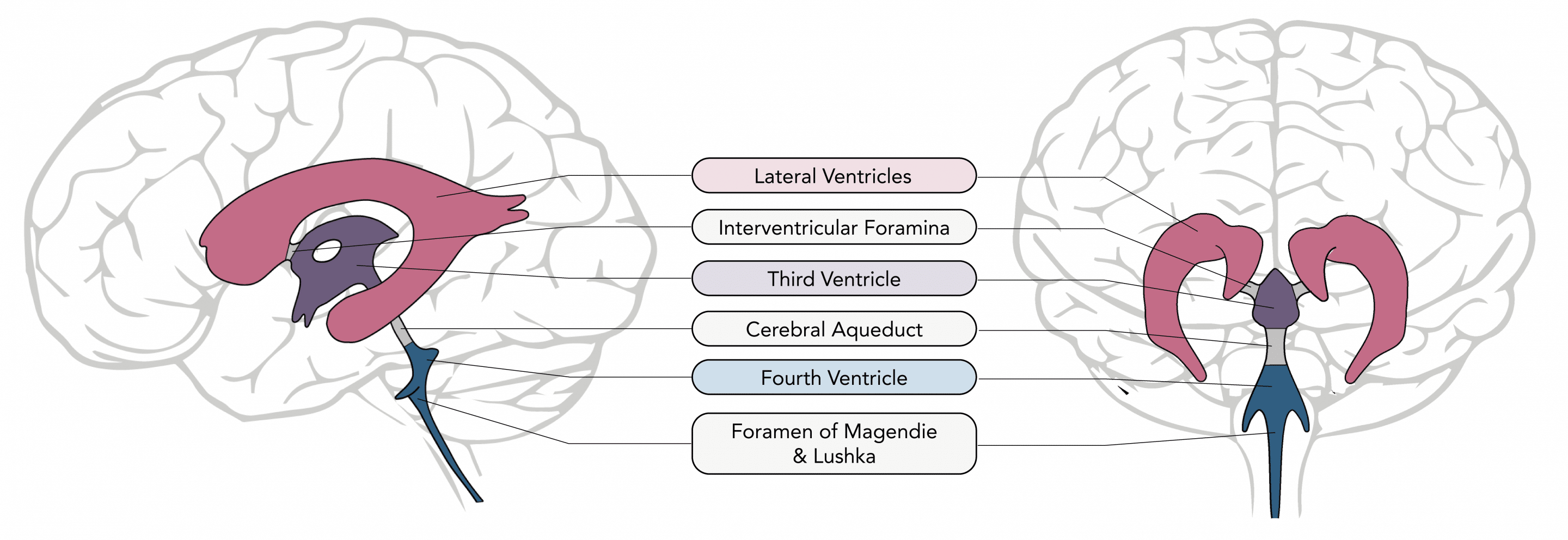 Structure of the ventricular system